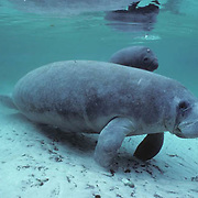 West Indian Manatee, (Trichechus manatus) Cow with 1-2 day old calf resting in freshwater spring. Florida.