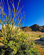 Ocotillo and Spring Wildflowers in joshua Tree National Park in California