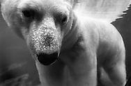 Deutschland, DEU, Stuttgart, 2000: ein im Wasser stehender Eisbär (Ursus maritimus), Tierpark Wilhelma. | Germany, DEU, Stuttgart, 2000: Polar bear, Ursus maritimus, standing under water, Tierpark Wilhelma, Stuttgart. |