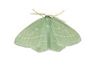 Small Emerald - Hemistota chrysoprasaria