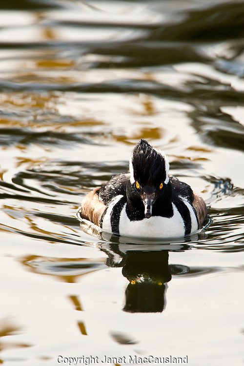 A Male Hooded Merganser (Lophodytes cucullatus) dives in an ice-free winter harbor