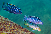 Pseudrotropheus elongatus (pair on right), a common mbuna found on rocky reefs around Likoma Island, Lake Malawi, Malawi, Africa.