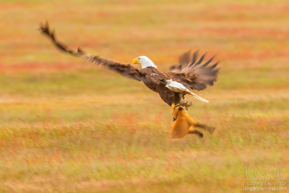 A bald eagle and a red fox tussle over a European rabbit in San Juan Island National Historical Park in Washington state. The fight began when the bald eagle attempted to steal the rabbit away from the young fox, known as a kit. When the bald eagle grabbed the rabbit, it inadvertently also caught the fox, lifting both more than 20 feet into the air. The fox swung back and forth trying to take the rabbit back. The bald eagle released the fox and flew off with the rabbit. The whole struggle lasted 8 seconds. Both European rabbits (Oryctolagus cunuculus) and red foxes (Vulpes vulpes) were introduced to San Juan Island. The rabbits were introduced to the island in the 1890s by settlers; foxes were introduced occasionally in the 1900s. The European rabbits in particular are considered an invasive species, turning the prairie into an unsustainable barren landscape with their vast burrows. This displaces small native mammals, such as the Townsend's vole. While bald eagles and foxes occasionally hunt rabbits, it is a relatively rare occurrence. Up to 97 percent of an eagle's diet consists of fish and birds; red foxes more commonly eat berries, insects and small mammals, like the vole.