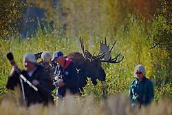 Bull moose chasing people in Grand Teton National Park