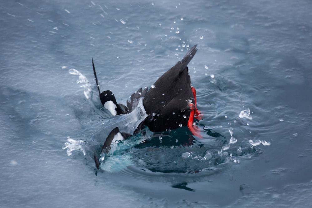Black Guillemot, Cepphus grylle, Spitsbergen, Svalbard