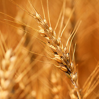 """""""Golden Grains of Wheat""""<br /> <br /> Beautiful golden wheat swaying in the summer breeze!!<br /> <br /> Nature of this World by Rachel Cohen"""