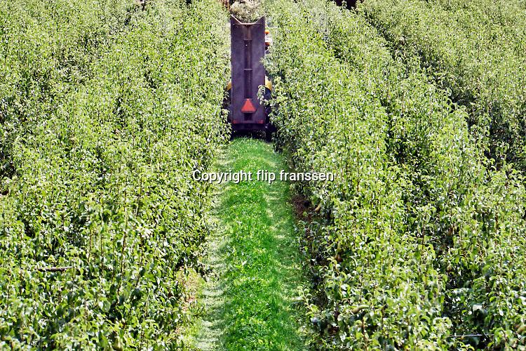 Nederland, Leuth, 1-8-2019 Een tuinder rijdt door zijn perenboomgaard en spuit gewasbeschermingsmiddel op de peren die rijp zijn voor de oogst. Foto: Flip Franssen