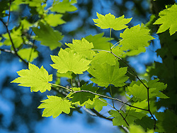 United States, Washington, green maple leaves on tree