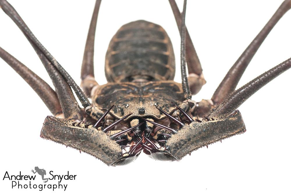 Tailless whip scorpion, Heterophrynus sp., Iwokrama, Guyana, July 2013