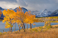 Aspens in autumn foliage along Lake McDonald, Glacier National Park Montana USA