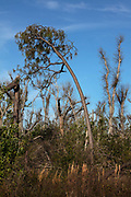 Trees showing hurricane damage on 8th March 2020 in Mexico Beach, Florida, United States. Hurricane Michaels eyewall roared ashore on Oct. 10, 2018, near Mexico Beach, packing 160 mph winds.