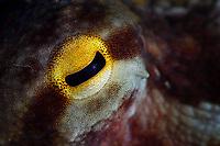 The eye of a common octopus, Octopus vulgaris, Po Bin Chau, Hong Kong, China.<br /> This Image is a part of the mission Wild Sea Hong Kong (Wild Wonders of China).
