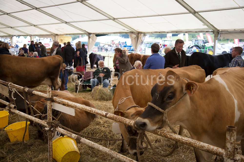Dairy, beef and store cattle competition competitors wait in their tents. 'Pateley Show', as the Nidderdale Show is affectionately known, is a traditional Dales agricultural show for the finest livestock, produce and crafts in the Yorkshire Dales. Held in the picturesque surrounds of Bewerley Park, Pateley Bridge, is one of the county's foremost shows. It regularly attracts crowds of 17,000 and traditionally marks the end of the agricultural show season.