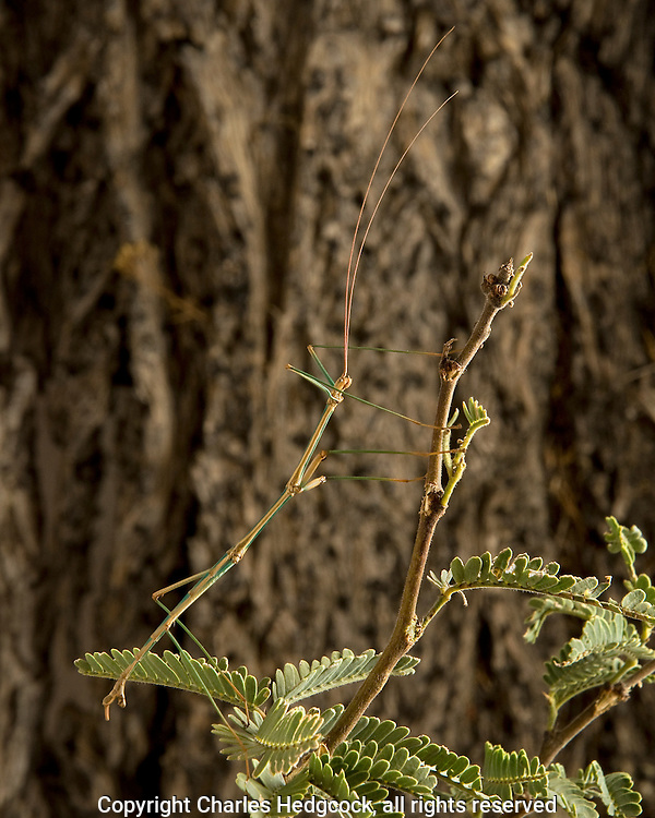 Male Arizona Walking stick, Diapheromera arizonensis photographed at Rancho Puerta Blanca on the US/Mexican Border