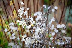 Lunaria annua - Honesty - seedpods
