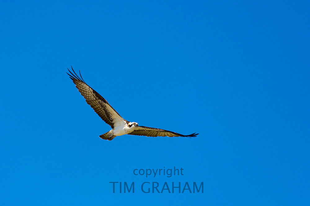 Osprey, Pandion haliaetus, in flight with wings outstretched in wide wingspan flying and soaring over Captiva Island, Florida USA