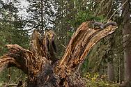 Eichhörnchen (Sciurus vulgaris) in einem Wald bei Arosa im Kanton Graubünden an einem bewölkten Herbsttag im Oktober; Das Eichhörnchen (Sciurus vulgaris), regional auch Eichkätzchen, Eichkater oder niederdeutsch Katteker, ist ein Nagetier aus der Familie der Hörnchen (Sciuridae). Es ist der einzige natürlich in Mitteleuropa vorkommende Vertreter aus der Gattung der Eichhörnchen und wird zur Unterscheidung von anderen Arten wie dem Kaukasischen Eichhörnchen und dem in Europa eingebürgerten Grauhörnchen auch als Europäisches Eichhörnchen bezeichnet.