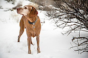 SHOT 12/27/15 12:38:01 PM - Tanner, an 11 year-old male Vizsla, watches as family sled down a hill in an arroyo in Albuquerque, N.M. The Vizsla is a dog breed originating in Hungary and are sporting dogs and loyal companions. The Vizsla is a natural hunter endowed with an excellent nose and an outstanding trainability. Although they are lively, gentle mannered, demonstrably affectionate and sensitive, they are also fearless and possessed of a well-developed protective instinct. (Photo by Marc Piscotty / © 2015)