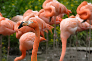 Avifauna, Europa's grootse vogelpark. / Avifauna - the largest bird sanctuary in Europe Op de foto / On the photo: Cubaanse of Rode Flamingo (Phoenicopterus ruber ruber) / Cuban or Red Flamingo