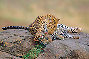 Leopard mother grooming young cub
