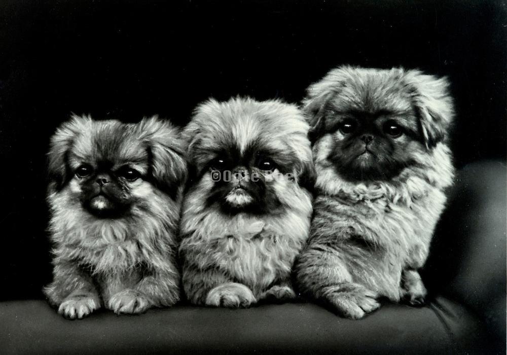 portrait of three little dogs