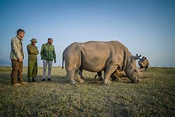 On August 22nd, 2019 an international consortium of scientists and conservationists completed a procedure that gets us one step closer to being able to save the northern white rhinos. The team successfully harvested eggs from the two females who live in Ol Pejeta Conservancy in Kenya — a procedure that has never been attempted in northern white rhinos before. The successful procedure was a joint effort by the Kenya Wildlife Service (KWS), Leibniz Institute for Zoo and Wildlife Research (Leibniz-IZW) Berlin, Avantea, Dvůr Králové Zoo, and Ol Pejeta Conservancy.<br /> <br /> After the eggs were harvested from the northern white rhino females, they were taken into a KWS helicopter and flown to Avantea in Italy where they will be artificially inseminated with frozen sperm from a northern white rhino bull, and in the near future the embryo will be transferred to a southern white rhino surrogate mother. <br /> <br /> The procedure to harvest eggs from the females was conducted with a probe, guided by ultrasound, which harvested immature egg cells (oocytes) from the ovaries of the animals who were under general anaesthetic. The anaesthesia went smoothly without any complications although these animals had not been immobilized for the last five years. <br /> The girls responded well to the procedure and are now awake, happy and back to their normal selves. <br />  (Photo by Ami Vitale)