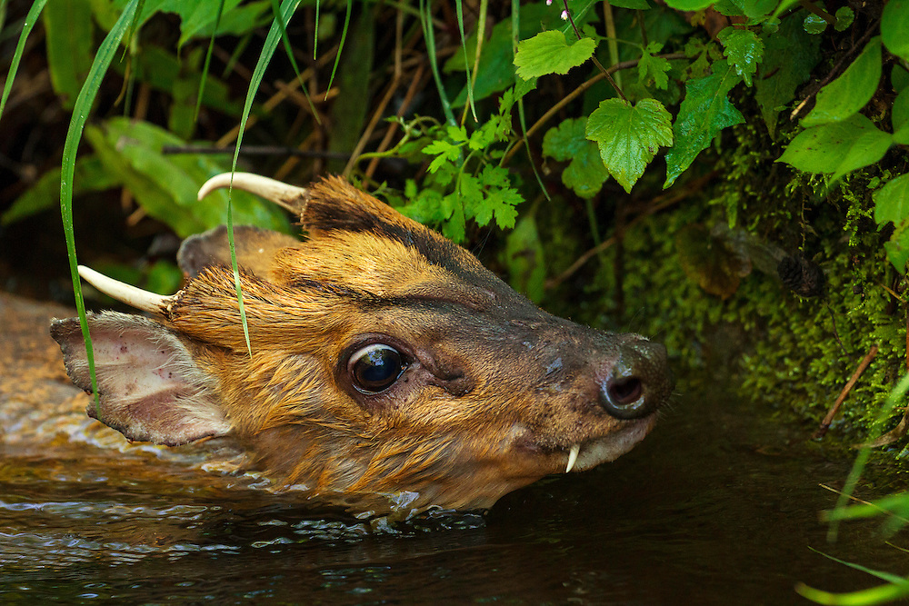 An injured muntjac (cause unknown), Muntiacus reevesi, swims in a small creek after unsuccessfully attempting to jump across it. This muntjac was unable to get out of the creek himself, and was later rescued by the photographer. Tangjiahe Nature Reserve, Sichuan province, China.