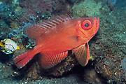 Bloch's Bigeye.(Priacanthus blochii).Lembeh Straitw, Indonesia..