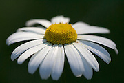 Ox-eye daisy, Oxfordshire, United Kingdom
