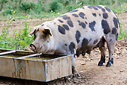 Gloucester Old Spot pig feeds from a trough , Gloucestershire, United Kingdom