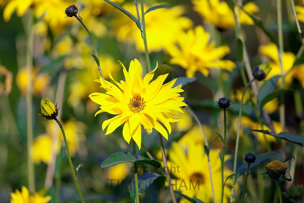 Rudbeckia flower, Asteraceae, also known as Coneflower, in garden in The Cotswolds, Oxfordshire, UK