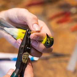 A woman puts a metal id band on the leg of a recently captured Canada warbler at the Manomet Banding Lab in Manomet, Massachusetts.