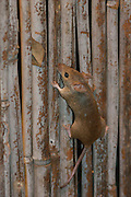 Rattus norvegicus. Brown rat looking for food.