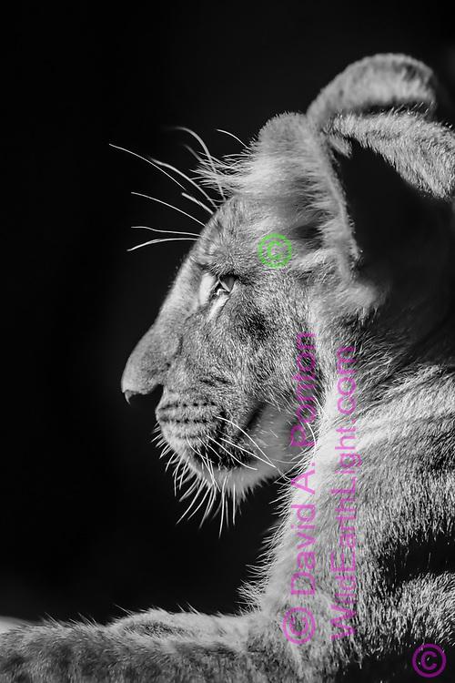 Lion cub laying on ground, profile portrait, Serengeti National Park, Africa.  © David A. Ponton