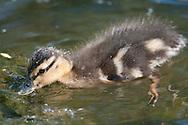 Mallard duckling in the pond at Eldridge Park in Elmira, NY