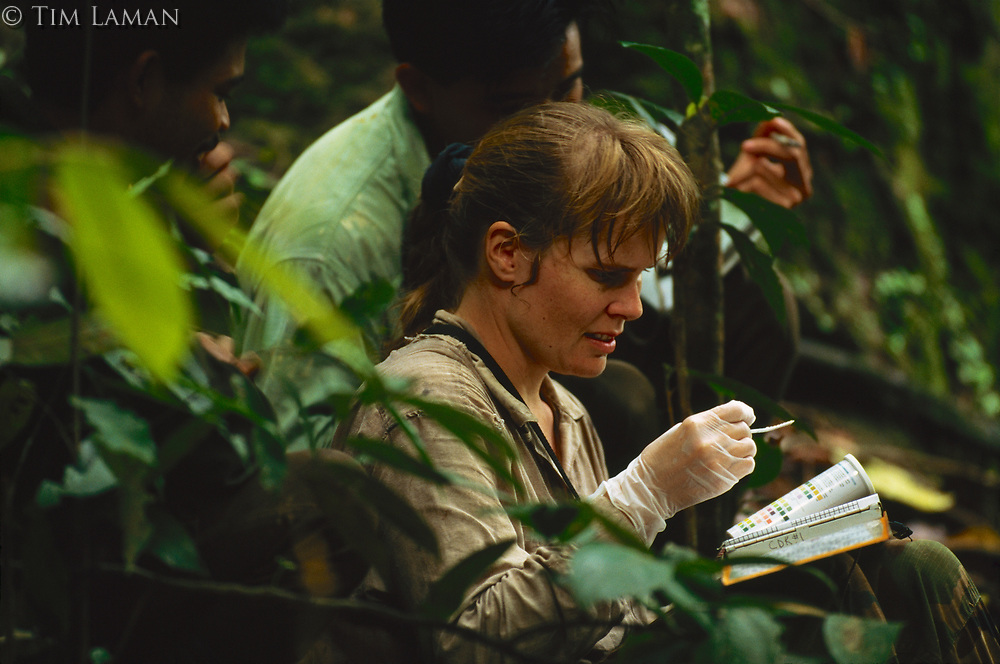 Anthropologist Cheryl Knott checks orangutan urine samples for signs of menstruation, infection, and weight loss.  She is using dipstick tests for humans, which work on orangutans.