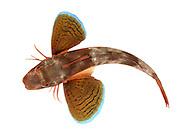 Tub Gurnard - Trigla lucerna (formerly Chelidonichthys lucerna)