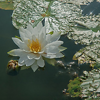 A water lily flower and lily pads float on Lake of the Woods, Ontario, Canada.