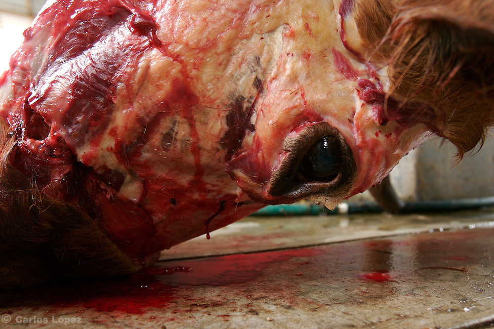 A HEAD OF A DEATH COW  OR BULL ON THE FLOOR OF A SLAUGHTERHOUSE.