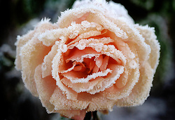 Frost patterns on the petals of a Rose.