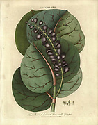 Coccolobo [Coccoloba uvifera] Round leaved Sea-side grape [Seagrape] Coccoloba uvifera is a species of flowering plant in the buckwheat family, Polygonaceae, Common names include seagrape and baygrape. Handcolored copperplate engraving From the Encyclopaedia Londinensis or, Universal dictionary of arts, sciences, and literature; Volume IV;  Edited by Wilkes, John. Published in London in 1810