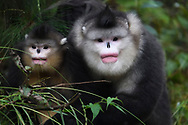 Yunnan, or Black Snub-nosed monkeys, Rhinopithecus bieti,  Ta Cheng Nature reserve, Yunnan, China