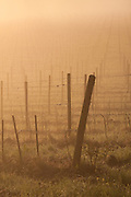 Sangiovese grape vineyard in fog at dawn, north of Siena in the Chianti region of Tuscany, Italy.