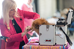 © Licensed to London News Pictures. 18/08/2017. Llanelwedd, Powys, UK. A Pomeranian gets some grooming on the first day of The Welsh Kennel Club Dog Show, held at the Royal Welsh Showground, Llanelwedd in Powys, Wales, UK. Photo credit: Graham M. Lawrence/LNP