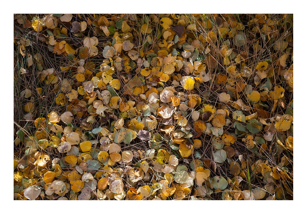 dried aspen leaves cover the ground over long dried grasses in the eastern sierra