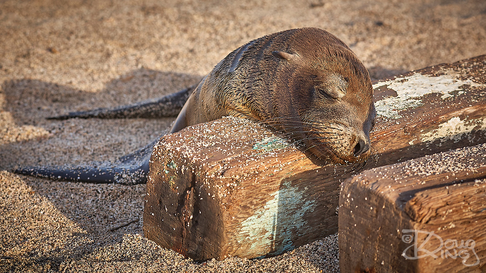 Galapagos Sealion pup snoozes in an unlikely position over a washed up driftwood ship timber.