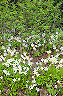 Avalanche Lilies and Mouuntain Ash, Early in the spring, at Paradise, Mt. Rainier National Park.