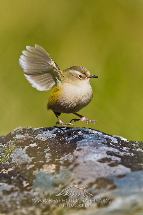 """""""What's that?  Speak up please!  I'm the New Zealand Rock Wren, one of New Zealand's tiniest birds which means my ears are tiny!""""  This vulnerable species is not much bigger than a ping-pong ball, and New Zealand's only true alpine bird!"""