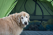Dog (golden retriever) waits to be let in to the tent while camping, John Muir Wilderness, Inyo National Forest, California