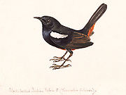 Male Indian robin (Copsychus fulicatus or Saxicoloides fulicata) 18th century watercolor painting by Elizabeth Gwillim. Lady Elizabeth Symonds Gwillim (21 April 1763 – 21 December 1807) was an artist married to Sir Henry Gwillim, Puisne Judge at the Madras high court until 1808. Lady Gwillim painted a series of about 200 watercolours of Indian birds. Produced about 20 years before John James Audubon, her work has been acclaimed for its accuracy and natural postures as they were drawn from observations of the birds in life. She also painted fishes and flowers. McGill University Library and Archives
